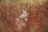 White-tailed deer doe standing among wild rose stalks/vines in late Fall.  Western U.S.