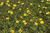 Kriechender Hahnenfuß, Hahnenfuss, Ranunculus repens, Creeping Buttercup