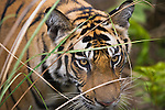 17 months old Bengal tiger cub behind grass, early morning, dry season