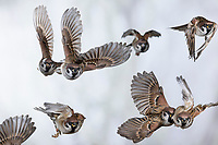 Feldspatz, Trupp, Gruppe, Schwarm, Flug, fliegend, Flugbild, Feld-Spatz, Feldsperling, Feld-Sperling, Spatz, Spatzen, Sperling, Passer montanus, tree sparrow, sparrow, flight, flying, sparrows, Le Moineau friquet