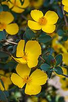 Dendromecon harfordii - Channel Island Tree Poppy- California native shrub with yellow flowers
