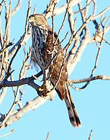 Juvenile sharp-shinned hawk