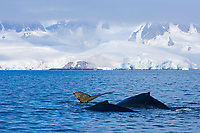 humpback whales, Megaptera novaeangliae, Antarctic Peninsula, Antarctica, Southern Ocean