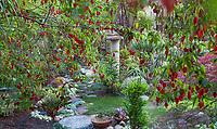 View of backyard garden through Abutilon megapotanicum, Chinese Lantern flowering shrub in California plant collector garden - Carol Brant