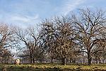 Brazoria County, Damon, Texas; a brown cow standing in early morning sunlight with live oak trees in the background, throws a long shadow across the pasture