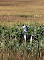 Blue heron in a salt marsh.