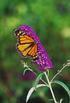Monarch, Danaus plexippus on Black Knight Butterfly Bush, Buddleia davidii