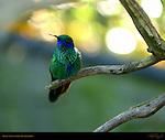 Green Violet-Eared Hummingbird, Southern California