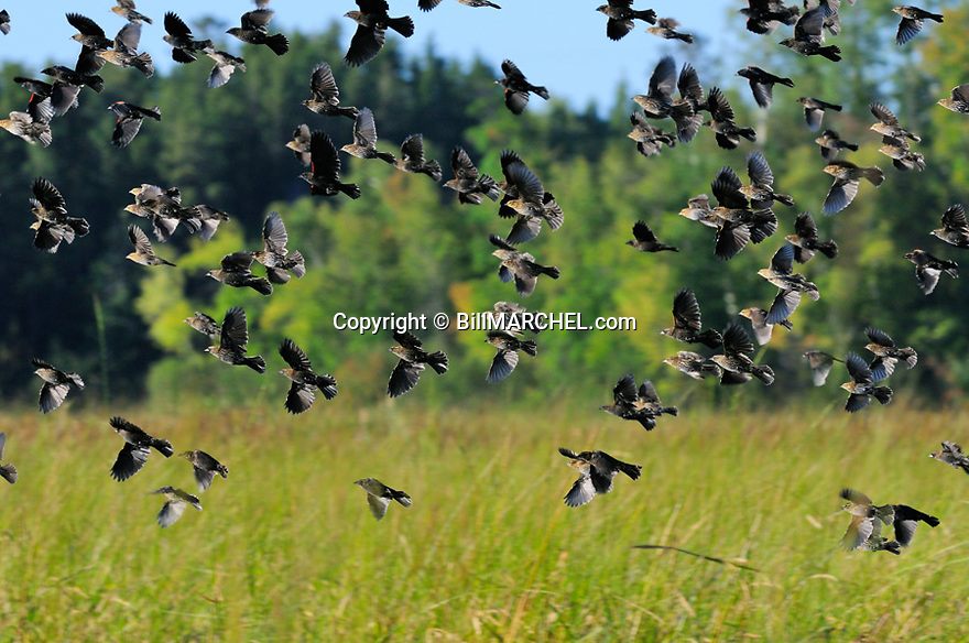00080-012.12 Red-winged Blackbird flock in flight over wild rice where they had been feeding.