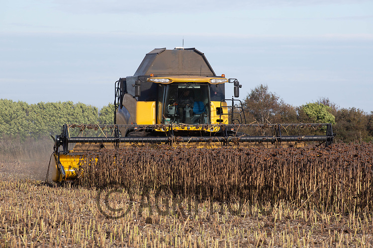 Harvesting sunflowers <br /> ©Tim Scrivener Photographer 07850 303986<br />      ....Covering Agriculture In The UK....