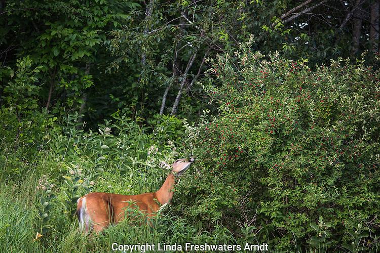 White-tailed deer browsing a Morrow's honeysuckle bush