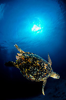hawksbill sea turtle, Eretmochelys imbricata, Little Cayman, Cayman Islands, Caribbean Sea, Atlantic Ocean