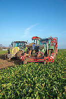 Harvesting Sugar Beet, Grimme Rootster 604 trailed harvester - Lincolnshire, December