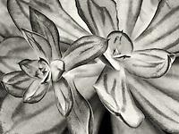 Close up of Echeveria Nodulosa. Oregon