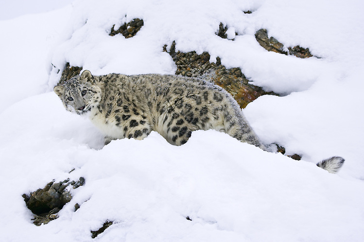 Snow Leopard standing and watching from a snowy rocky hill - CA
