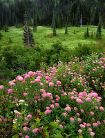 Rosy Spirea flowers, meadow and trees.. Mt. Rainier National Park, Washington
