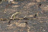 Vogelflöhe, Vogelfloh, Vogel-Floh, Floh, Flöhe in einem Vogel-Nistkasten, Nistkasten, Hühnerfloh, Hühner-Floh, Ceratophyllus gallinae, European chicken flea, common chicken flea, hen flea