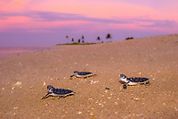 flatback sea turtle, Natator depressus, hatchling, crawling down nesting beach to ocean at sunset, endemic to Australian continental shelf, Torres Strait, Queensland, Australia, Pacific Ocean (cr)