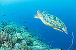 Anda, Bohol, Philippines; a green sea turtle swimming above soft corals on the reef, with fish in the background