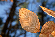 American Beech-Fagus grandifolia-  leaf during the winter months in New England USA