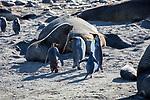 King Penguins, Gentoo Penguins and Fur Seals (one king penguin is severely injured)