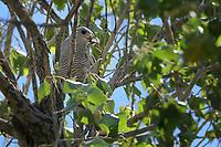 Gray Hawk with Lizard, Big Bend National Park