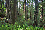 California, Redwood trees, old growth forest, Prairie Creek Redwoods State Park, Hiking, James Irvine Trail, Humboldt County, California, USA,