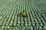 Workers harvesting cabbage by Sultan Ahmed Niloy
