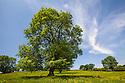 Ash Tree {Fraxinus excelsior}, Peak District National Park, UK, Derbyshire. June.