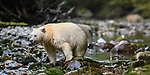 Adult spirit bear or Kermode bear (Ursus americanus kermodei)(pale/white morph of an North American black bear). Along Gwaa stream, Gribbell Island, Great Bear Rainforest, British Columbia, Canada. September 2018.