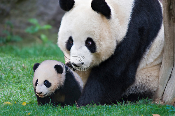 Mother and Baby Giant Panda.