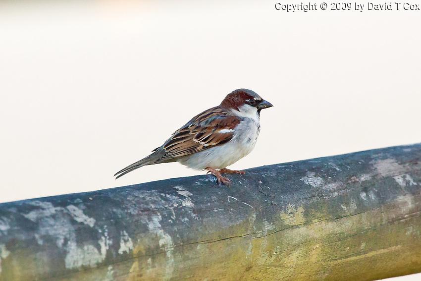 House Sparrow, Rainbow Beach, Queensland, Australia