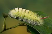 Buchen-Streckfuss, Buchen-Streckfuß, Buchenstreckfuß, Streckfuß, Rotschwanz, Buchenrotschwanz, Raupe, Calliteara pudibunda, Dasychira pudibunda, Olene pudibunda, Elkneria pudibunda, Trägspinner, Lymantriidae, pale tussock, red-tail moth, caterpillar