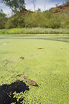 Olive Pythons(Liasis olivaceus) swimming in a watering hole full of duckweed