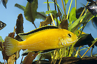 Gelber Maulbrüter, Gelber Malawi, Gelber Labidochromis, Goldener Labidochromis, Labidochromis Yellow, Malawi-Buntbarsch, Zuchtform, Labidochromis caeruleus, lemon yellow lab, electric yellow, yellow prince, Labido jaune, Buntbarsche, Cichlidae