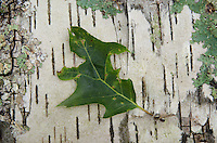 Leaf on Birch Bark, Upper Negro Island, Castine, Maine, US
