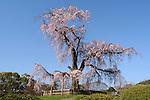 Shidare zakura, weeping cherry blossom, tree in Maruyama park in the center of Kyoto.<br /> <br /> Shidare zakura, fleur de cerisier en pleurs, arbre dans le parc Maruyama au centre de Kyoto.