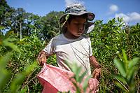 """A young kid, under 10 years old, helps other coca growers known as """"cocaleros"""", to harvest coca leaves in a """"cato"""", a coca plot which measures is 40x40 square meters, in the Chipiriri vicinity, Chapare region, Bolivia. November 30, 2019.<br /> Un jeune enfant de moins de 10 ans aide d'autres cultivateurs de coca connus sous le nom de """"cocaleros"""" à récolter des feuilles de coca dans un """"cato"""", une parcelle de coca de 40x40 mètres carrés, dans la région de Chipiriri, dans le Chapare, Bolivie. 30 novembre 2019."""