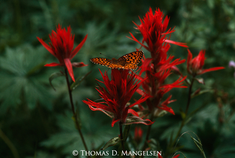 Butterfly sitting on Indian paintbrush.