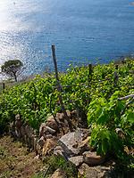 Küste und Weinberge bei Chiessi , Elba, Region Toskana, Provinz Livorno, Italien, Europa<br /> coast and vineyards near Pomonte, Elba, Region Tuscany, Province Livorno, Italy, Europe