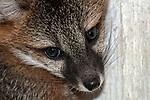 9 week old gray fox kitt close-up face and shoulders facing right.