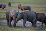 Two young African elephants playing with each other by butting heads, Amboseli National Park, Kenya.