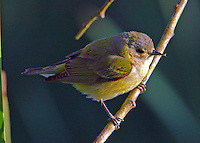 Adult female Tennessee warbler