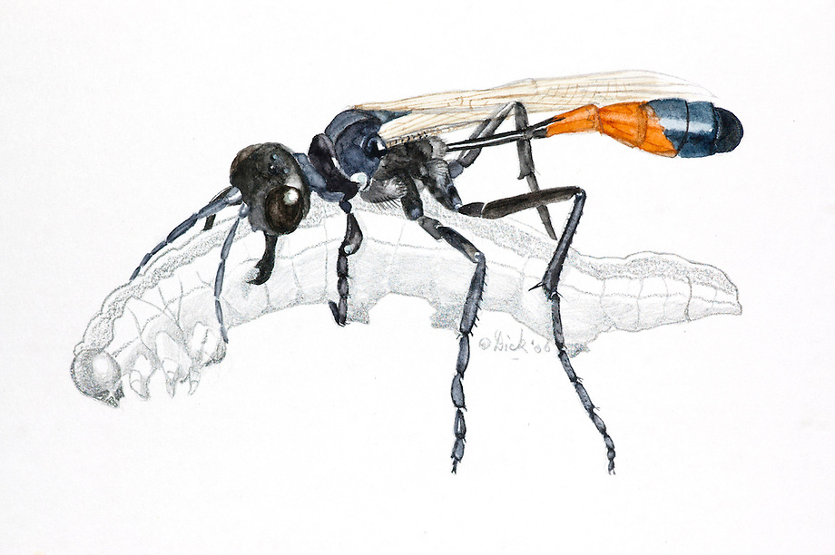 Rupsendoder (Ammophila sabulosa).