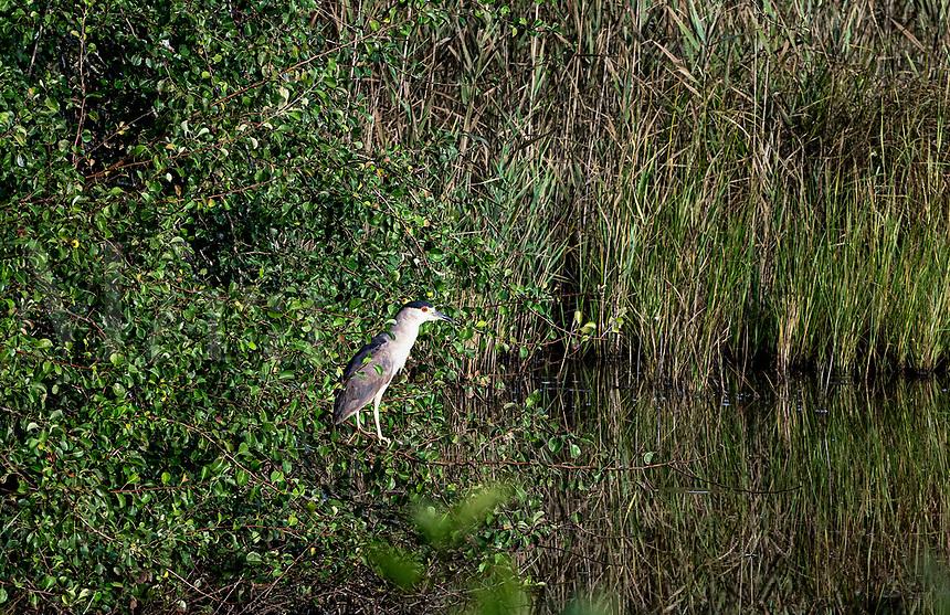 Black-crowned Night Heron, Cape Cod, Massachusetts, USA.