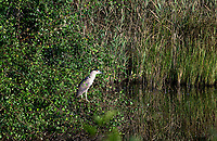 Black-crowned Night Heron, Cape Cod, Massachusetts, USA.