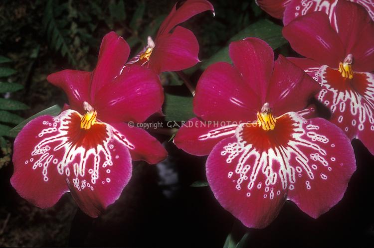 Waterfall Pansy Orchid: Miltoniopsis Dennis Kleinbach hybrid Miltonia