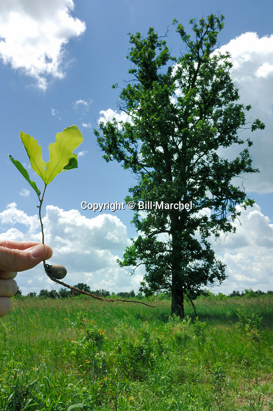 00810-001.09 Bur Oak: From an acorn a mighty oak will grow.  Hand holds seedling growing from acorn with mature oak in background.  V8F1
