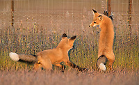 The kits would sometimes chase each other around some fenced-off vegetation exclosures.