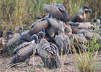 White-backed vultures are the most common vulture species in South Africa.